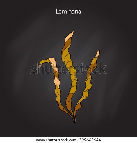 saccharina latissima  or kelp
