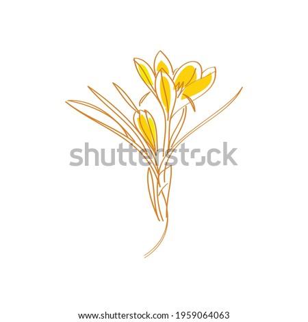 saffron crocus flower or