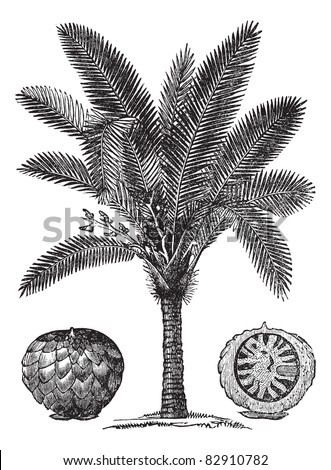 sago palm or metroxylon sagu ...
