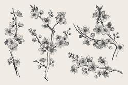 Sakura. Cherry blossom branch. Vector botanical illustration. Black and white. Set