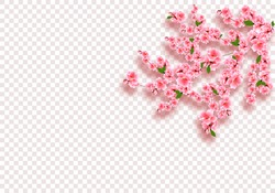 Sakura is magnificent. Cherry branches with delicate pink flowers, leaves and buds. On transparent checker background. Vector illustration
