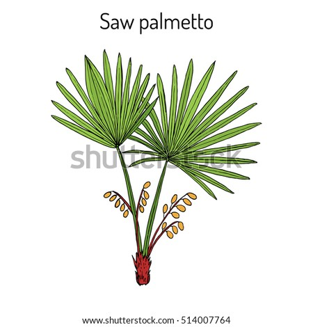 Saw Palmetto (Serenoa repens), medicinal tree. Hand drawn botanical vector illustration