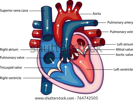 Schematic vector illustration of heart anatomy.