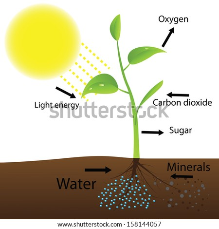 Scheme of photosynthesis (Vector illustration)