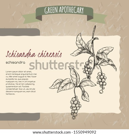 Schisandra aka Schisandra chinensis or magnolia vine sketch on vintage paper background. Green apothecary series. Great for traditional medicine, perfume design, cooking or gardening.