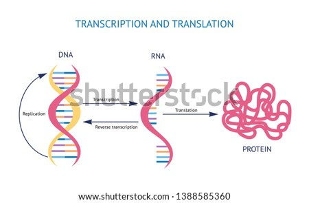 Scientific biological model DNA and RNA transcription and translation vector illustration isolated on white background. Spiral genetic structure for educational concepts.