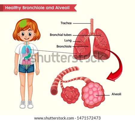 Scientific medical illustration of healthy lungs anatomy illustration