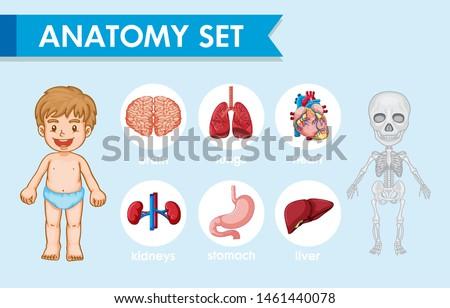 Scientific medical illustration of human anatomy illustration