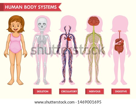 Scientific medical illustration of human body systems illustration