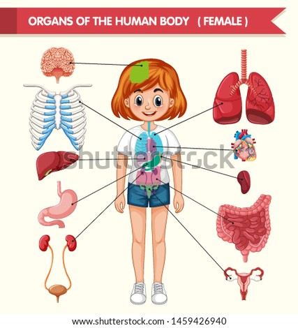 Scientific medical illustration of organs of the human body illustration