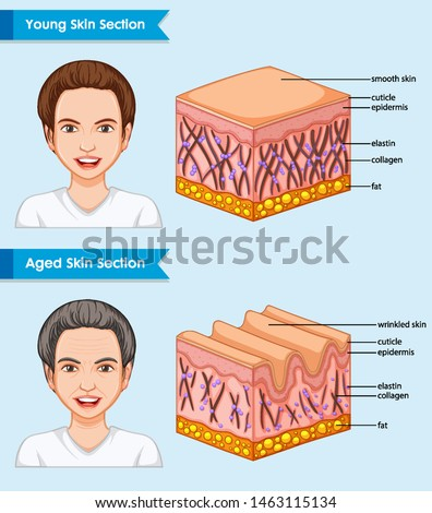 Scientific medical illustration of young and aged skin illustration
