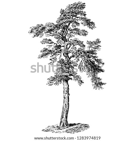 Scots Pine Tree Vintage Illustrations Сток-фото ©