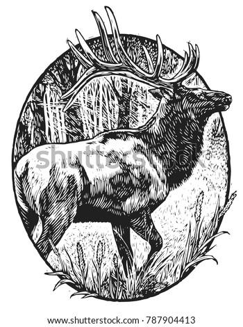 Scratchboard illustration of elk
