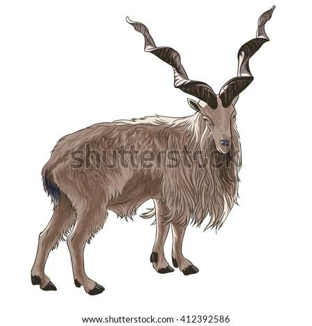 screw horned goat isolated on