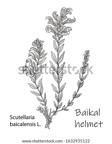 Scutellaria baicalensis - Siberian herbs. Vector hand drawn herb. Botanical plant illustration. Vintage medicinal herb sketch.