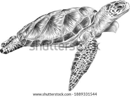 sea turtle black white sketch