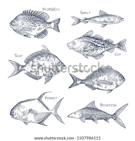 Seafood sketch or set of isolated hand drawn fish. Bluegill and smelt, dorado or mahi-mahi, Atlantic scup and cod, permit and bonefish. Side view on nautical or underwater animal. Fishing, menu theme