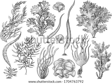 Seaweed, kelp collection, illustration, drawing, engraving, ink, line art, vector