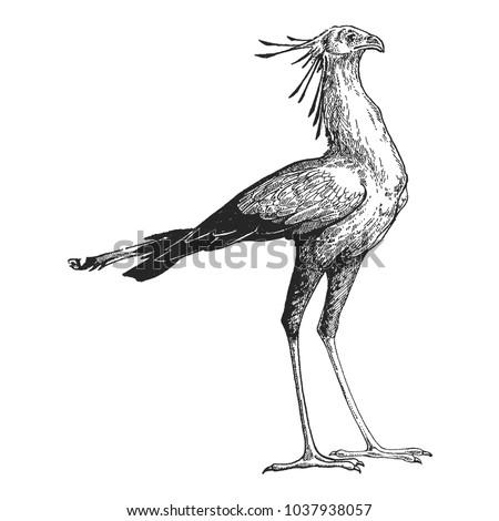 secretary bird. zoo. hand drawn ...