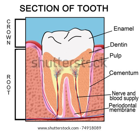 Section of Tooth, vector illustration ( for Education Purpose & Clinics)