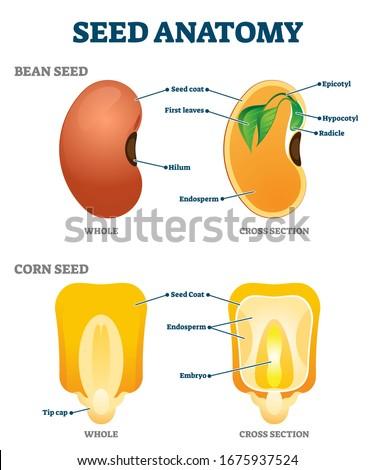 seed anatomy vector