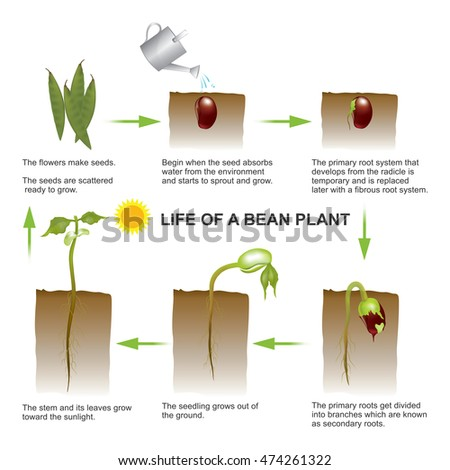 Seed Germination Is A Process By Which A Seed Embryo Develops Into ...