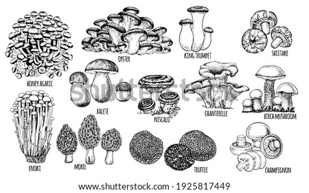 set edible mushrooms Vector illustration drawn by hand, family of different mushrooms, graphic drawing with lines, cut truffle, porcini mushroom, shiitake and chanterelles isolated on white background