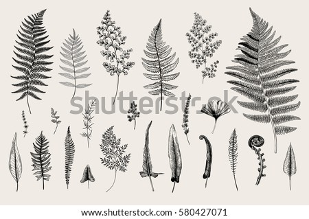 Set Ferns. Vintage vector botanical illustration. Black and white