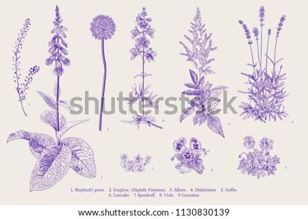Set garden flowers. Classical botanical illustration. Ultraviolet
