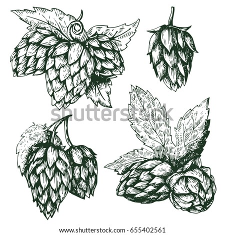 Set hop herb plants with leaf. Isolated on white background. For labels, packaging, poster with production process brewery beer. Vector vintage engraved illustration. Hand drawn design element