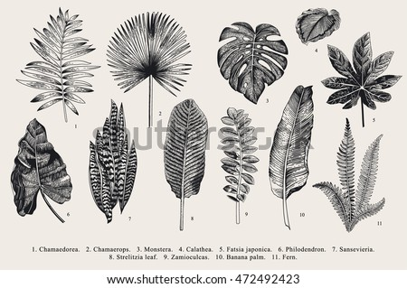 Set Leaf. Exotics. Vintage vector botanical illustration. Black and white. #472492423