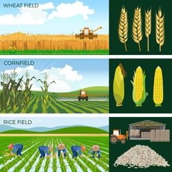 Set of agricultural fields- wheat, maize, rice. Vector illustrations.