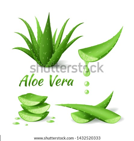 Set of Aloe Vera, realistic green plant, leaves and cut pieces with juice drops, isolated on white background, vector illustration