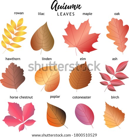 set of autumn leaves 12 types