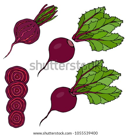 Set of Beet - Beetroot with Top Leaves and Half of Beet, Beet With Separated Leaves, Cut Beet Round Slices. Fresh Vegetable Salad. Hand Drawn Vector Illustration. Savoyar Doodle Style.