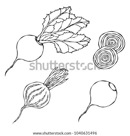 Set of Beet - Beetroot with Top Leaves and Half of Beet, Beet Without Leaves, Cut Beet Slices. Fresh Vegetable Salad. Hand Drawn Vector Illustration. Savoyar Doodle Style.