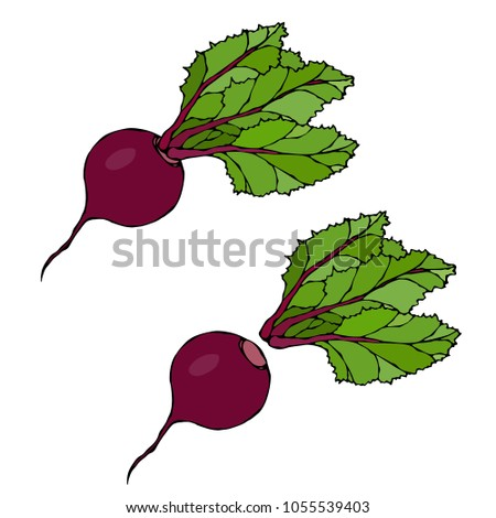 Set of Beet - Beetroot with Top Leaves, Beet With Separated Top. Fresh Vegetable Salad. Hand Drawn Vector Illustration. Savoyar Doodle Style.