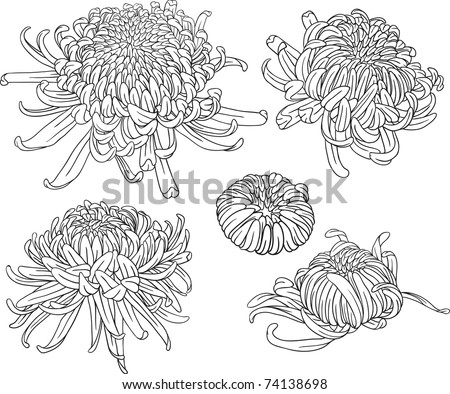 set of black and white isolated vector chrysanthemum flower blossoms Cool for t-shirts tattoos and design