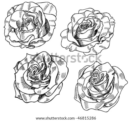 rose flower sketch. and white rose sketches