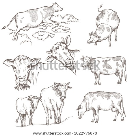Set of Bulls. The cow is coming, the cow is standing, the portraits of bulls, on the pasture. Vector illustration. Hand drawing illustration