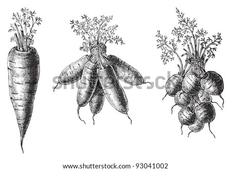 Set of carrots - vegetable / vintage illustration from Meyers Konversations-Lexikon 1897