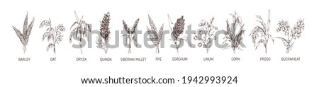 Set of cereal plants. Crops of barley, rye, corn, buckwheat, flax, oat, proso, quinoa, rice, Siberian millet and sorghum. Drawn vector illustration of detailed spikelets isolated on white background Zdjęcia stock ©