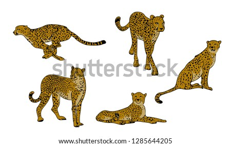 set of cheetahs  acinonyx