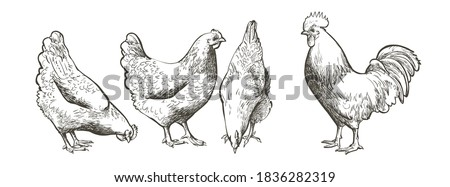Set of chickens and rooster. Decorative bird hen silhouette pattern realistic engrave. Farm animal logo. Vector illustration of a poultry  in vintage style