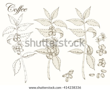 set of coffee branch  plant