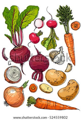 Set of colored vegetables. Fresh food. Beets, radishes, carrots, onions, garlic, potatoes line drawn on a white background. Vector illustration.
