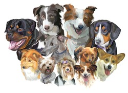 Set of colorful vector portraits of dog breeds (Rottweiler, border collie; toy, Biewer and Yorkshire Terriers, papillon, Welsh Corgi, Sheltie, Greyhound, Entlebucher  Dog) isolated on white background