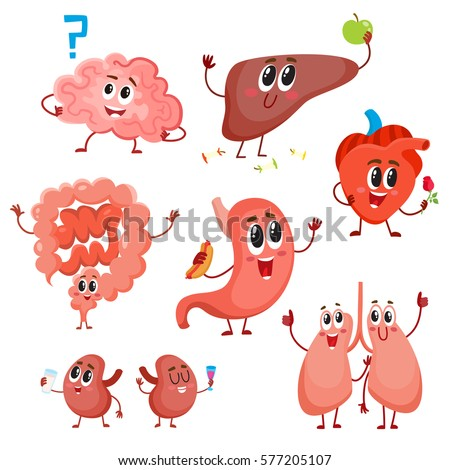 Set of cute and funny healthy human organ characters - heart, lungs, kidneys, intestines, liver, stomach, brain, cartoon vector illustration isolated on white background. Human organ characters