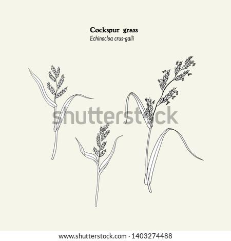 set of drawings of cockspur