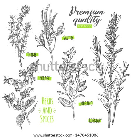 Set of eco herbs and spices of thyme, savory, borage, oregano and rosmary. Sketch illustration of eco food. Photo stock ©